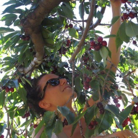 Manager Kika, Picking Cherries at Chinook Winery