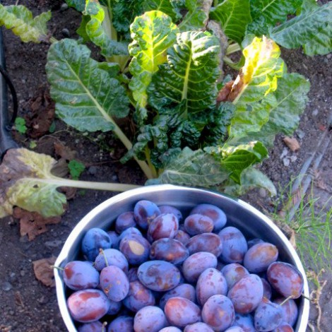 Plums Grown in Serafina's Garden