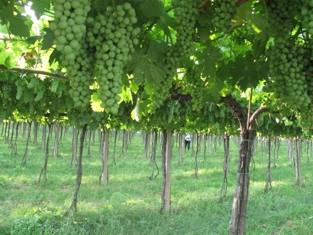 Grapes of Valpolicella